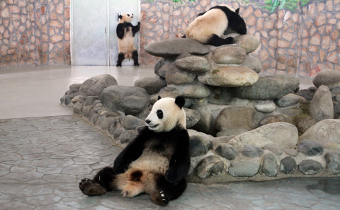 main_gallagher-giant-panda-9___
